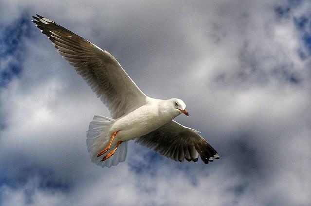 Silver gull Aust.