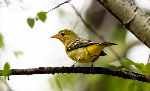 female_western_tanager-20210927-115-Edit