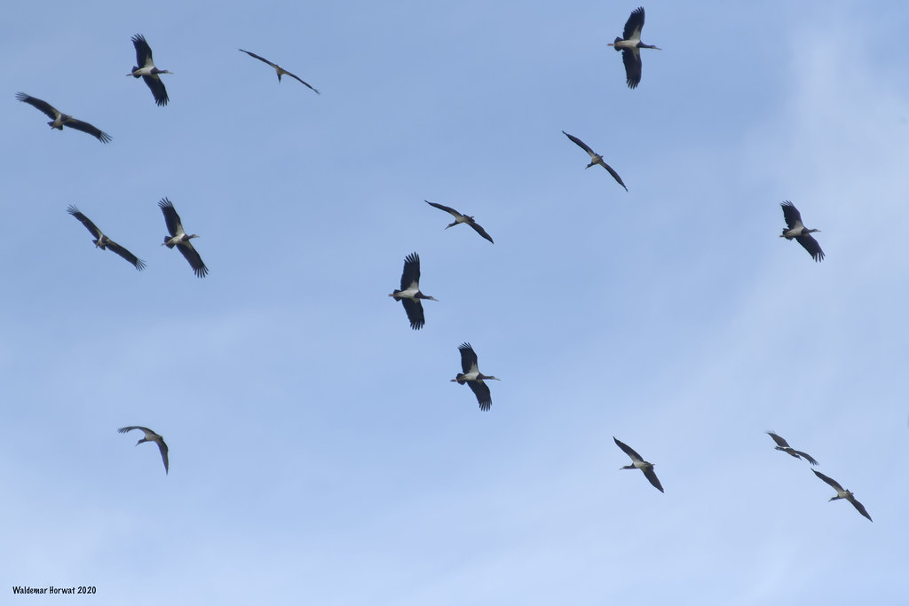 Abdim's Storks Riding Thermals