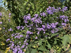 Lovely Smooth Blue Asters
