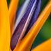 Strelitzia reginae (I), 5.1.18