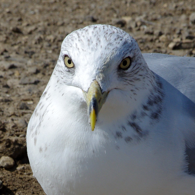 Ring-billed Gull (Larus delawarensis).  Storrie Lake, San Miguel Co., New Mexico, USA.