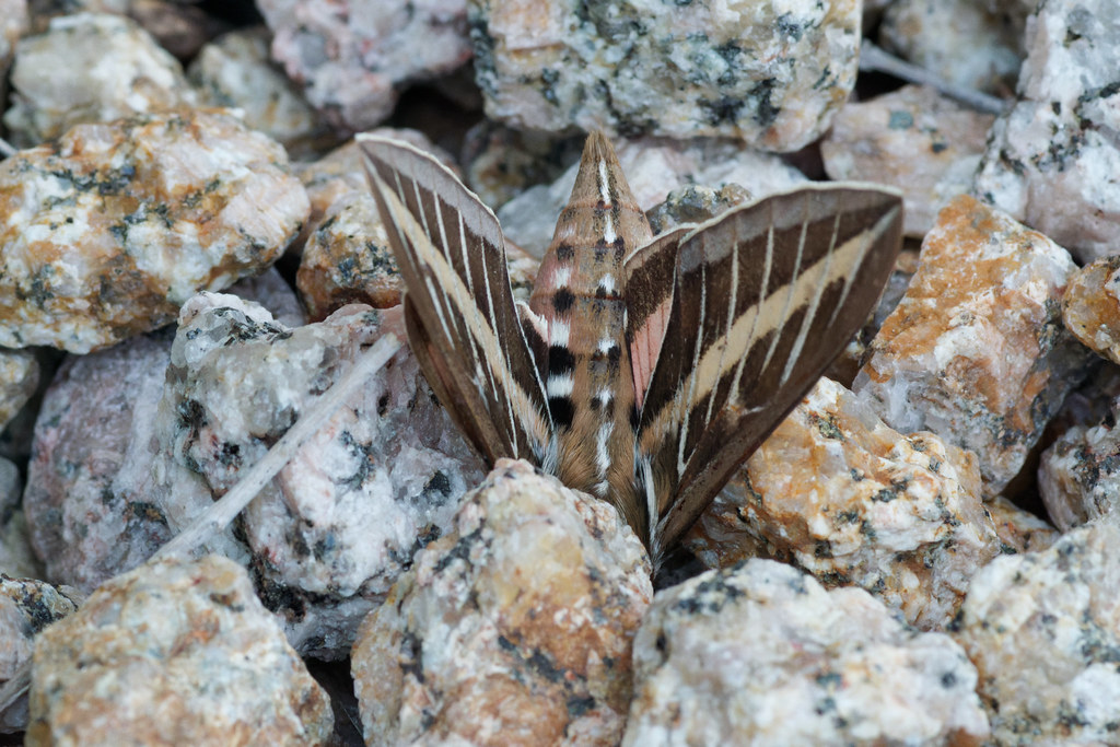 A dead white-lined sphinx moth with its head bured in the rocks of our backyard on September 5, 2021. Original: _RAC9029.arw