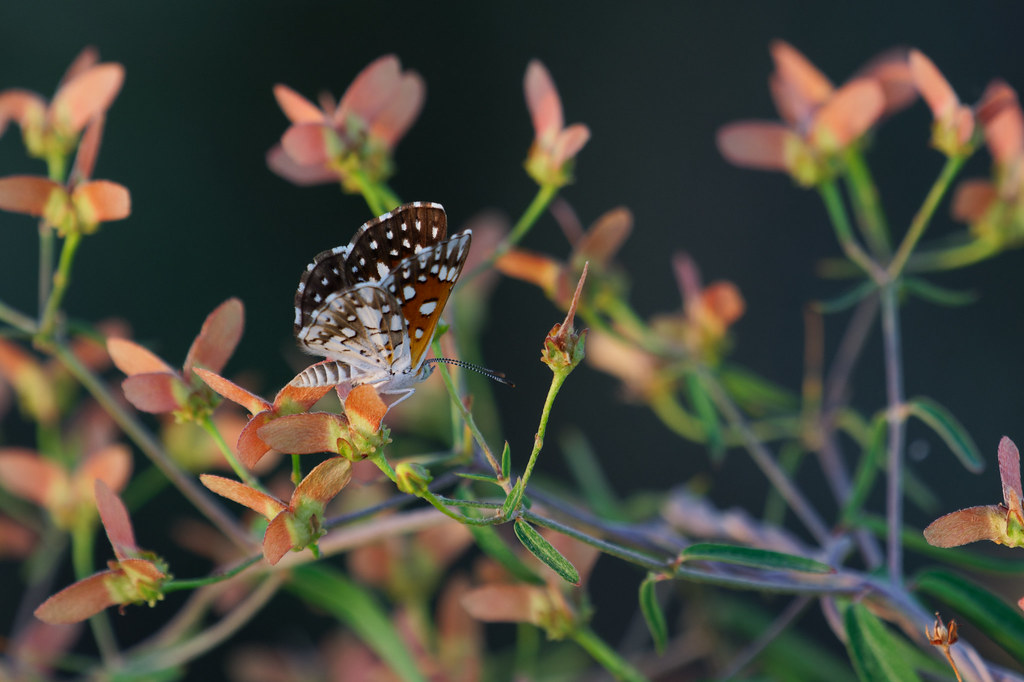 A Mormon metalmark butterfly perches on the red-winged seedpod of a slender janusia vine at sunrise on the Jane Rau Trail in McDowell Sonoran Preserve in Scottsdale, Arizona on August 24, 2021. Original: _RAC7317.arw