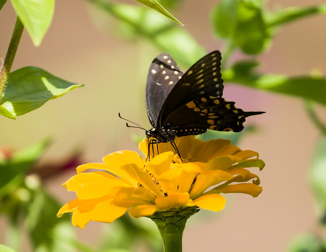 0P7A5135   Black Swallowtail Butterfly , Canada