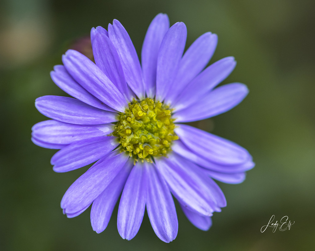 Indian Aster (I believe)