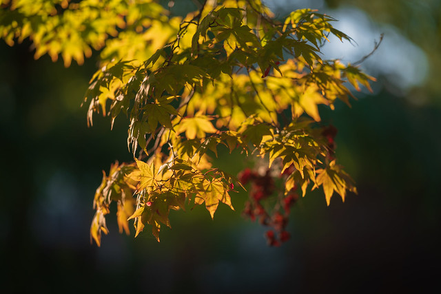 Japanese Maple Leaves at Sunset