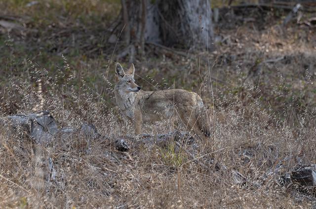 Angel Island Coyote