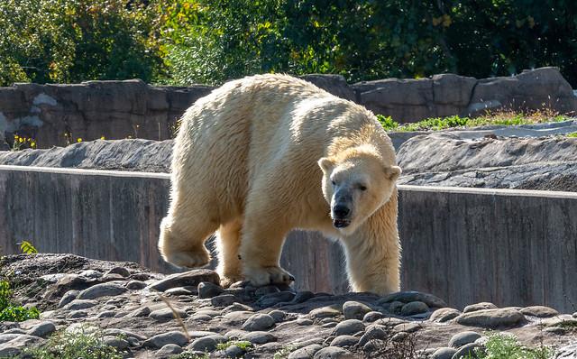 20210927 Detroit Zoo Polar Bear