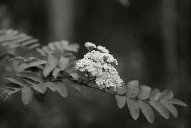 A Rowan branch