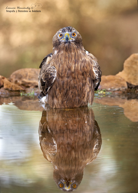Águila calzada (Hieraetus pennatus)