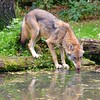 Wolf reflected in the water - Schleswig-Holstein - Germany - September 26, 2021