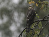 Sparrowhawk sheltering from the rain.