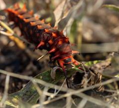 2021 09 Pipevine Swallow Tail Caterpillar