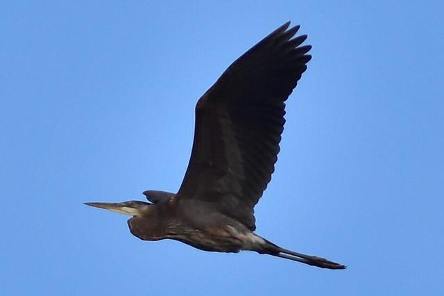 DSC_2114 Great Blue Heron flyby @ Centerport