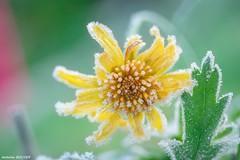 Fleur gelée (4 décembre 2019)