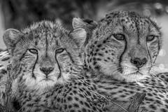 mum et cub guépard BW masai Mara-3775
