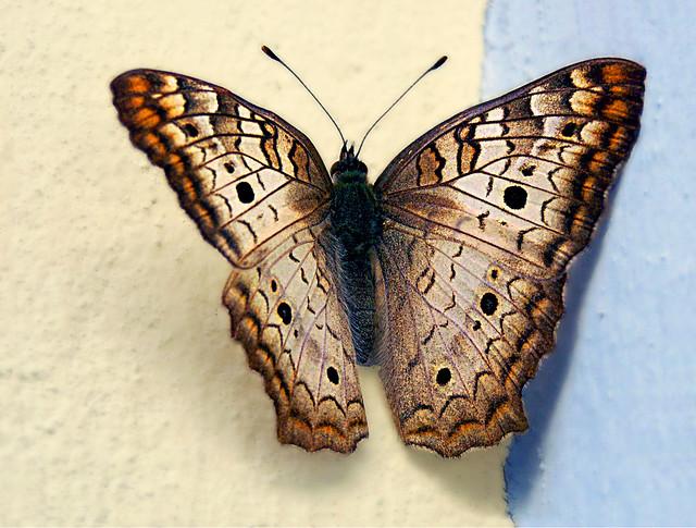 Black Witch Moth (Erebus odora)