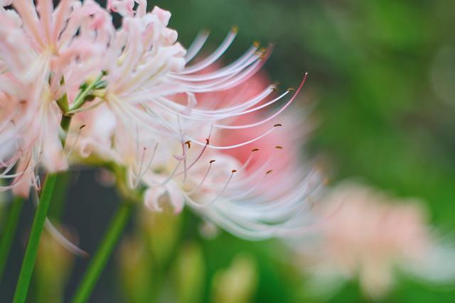 white spider lilies