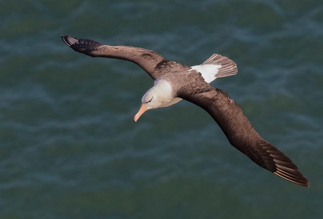 Black-browed Albatross. Bempton Cliffs RSPB, Bempton, East Yorkshire. DSC_8785.jpg
