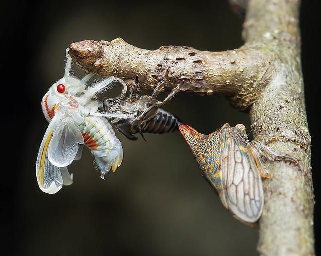 Oak treehopper emerging as an adult