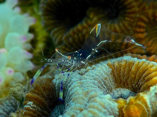 Sea anemone Shrimp.海葵蝦.