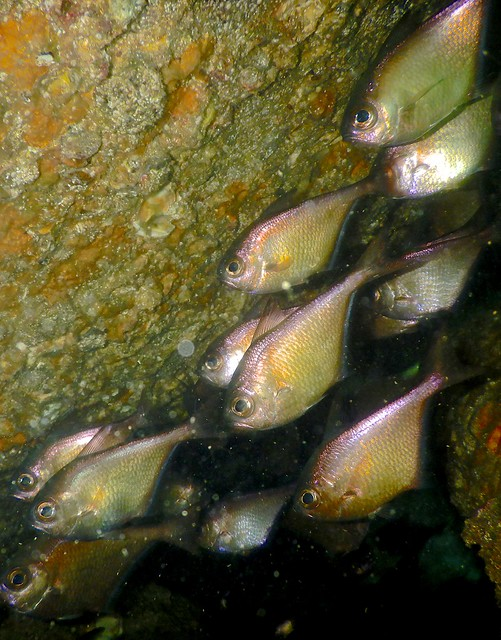 Pempheris Oualensis.黑梢單鰭魚.