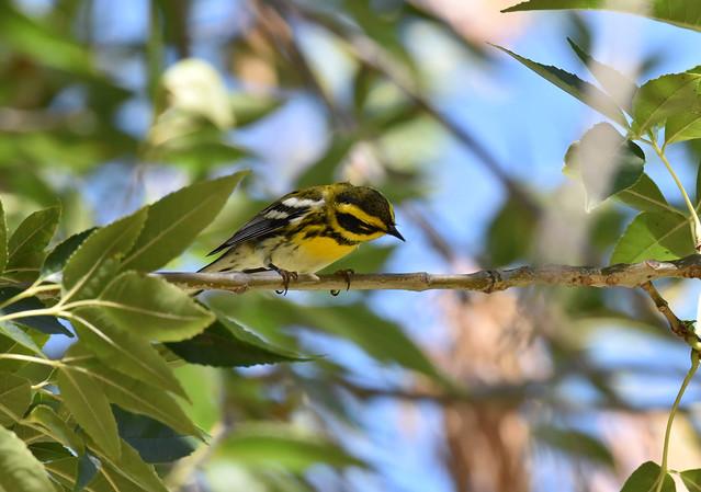 Townsend's Warbler at Lake Elizabeth Fremont