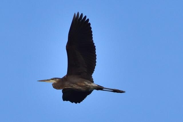DSC_2126 Great Blue Heron flyby @ Centerport
