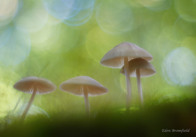 Common Bonnet Mushroom (Mycena galericulata)