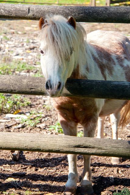 Columbia Valley-Miniature Horse