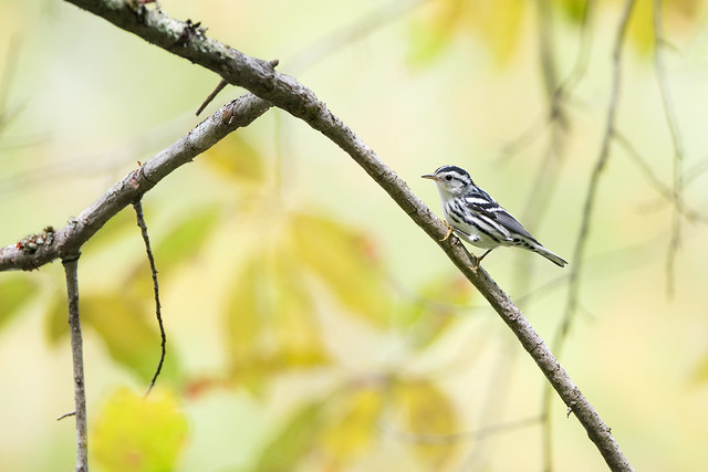 Black-and-white Warbler - Ohio