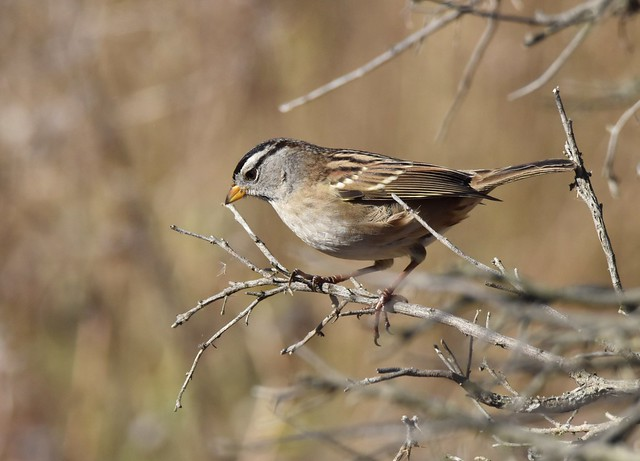 White-crowned Sparrow at Hayward Shoreline