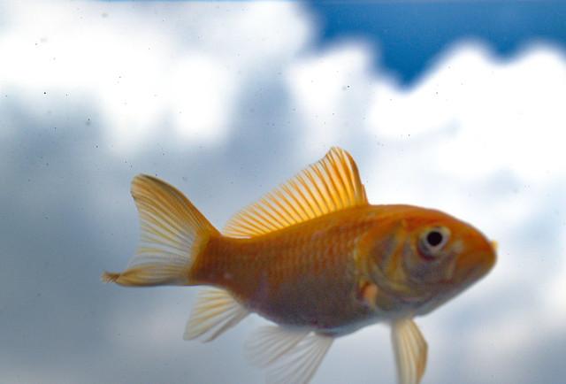 Flying gold fish