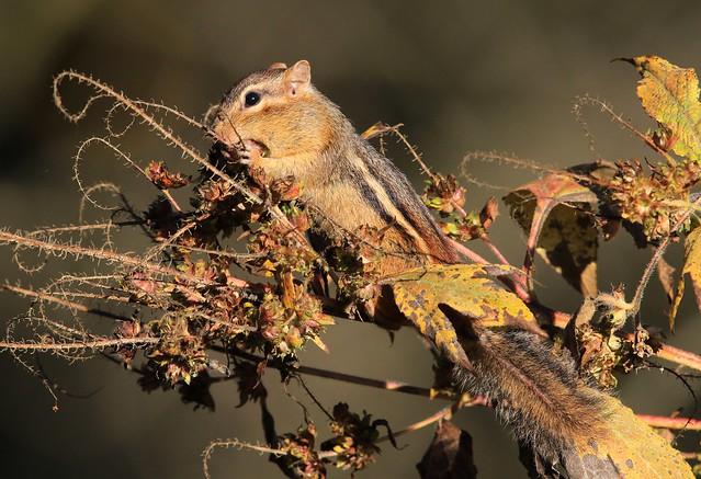 eastern chipmunk eating giant ragweed (Ambrosia trifida)  seeds at Chimney Rock Park IA 2K3A3351