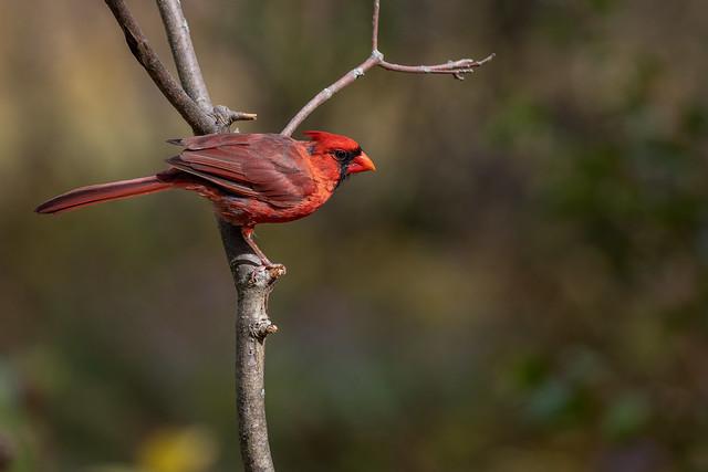 Northern Cardinal -2474