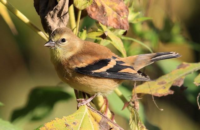 American goldfinch eating giant ragweed (Ambrosia trifida)  seeds at Chimney Rock Park IA 2K3A3488