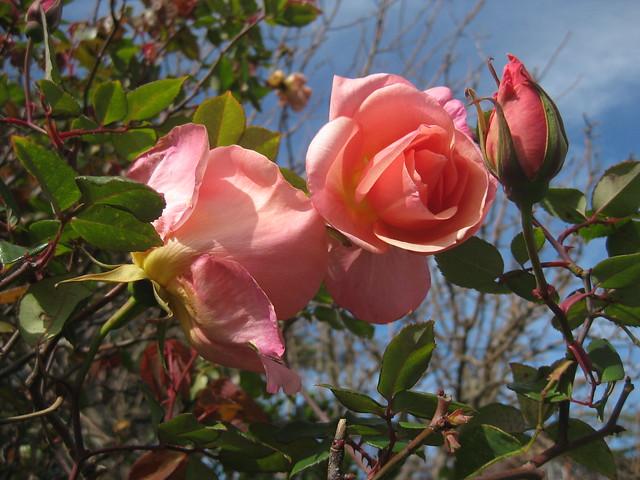 Lorraine Lee Roses - Preston