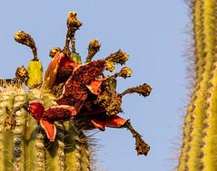 2021 06 Saguaro Fruit 02