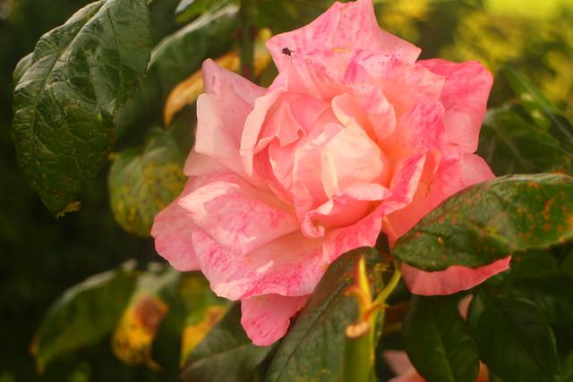 Painted Panteg Rose