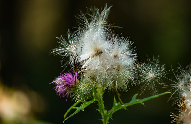 Ripe thistle is also beautiful !