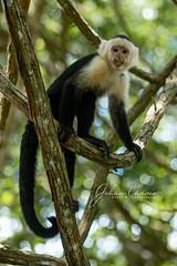 White throated capuchin monkey.