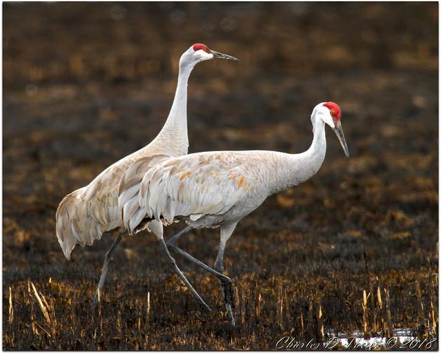 Contrasting Cranes