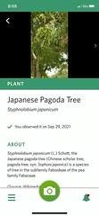 Japanese Pagoda Tree, Discovery Park 09.2021