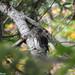 Glaucidium passerinum - Pygmy Owl