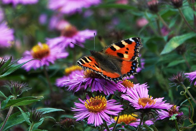 butterfly species the little fox on autumn asters