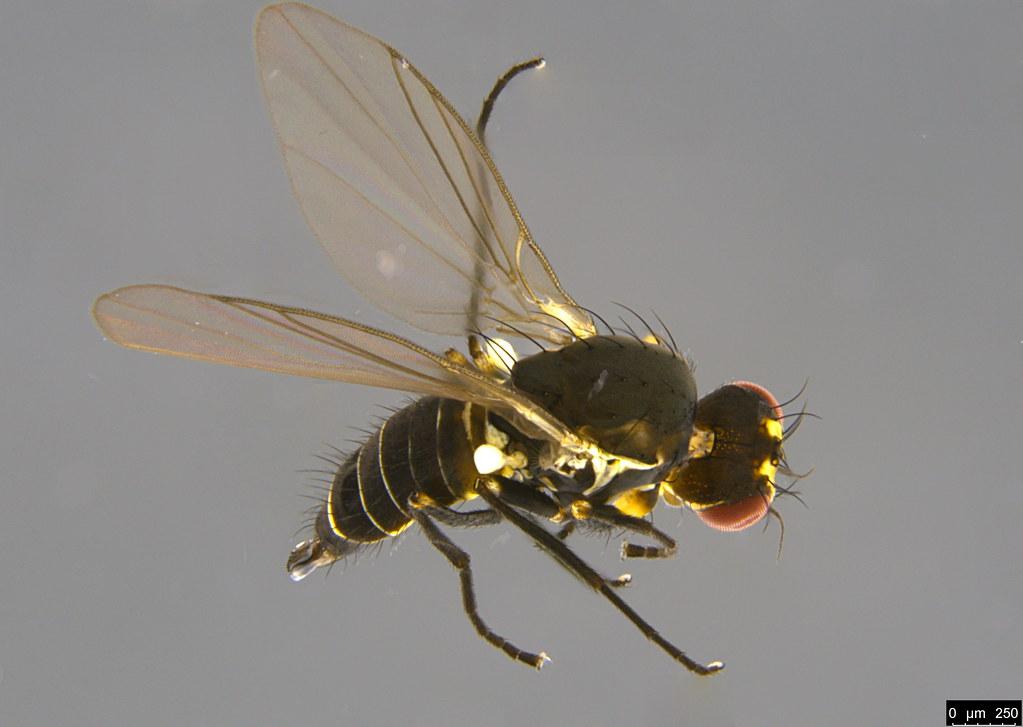 7a - Diptera sp.