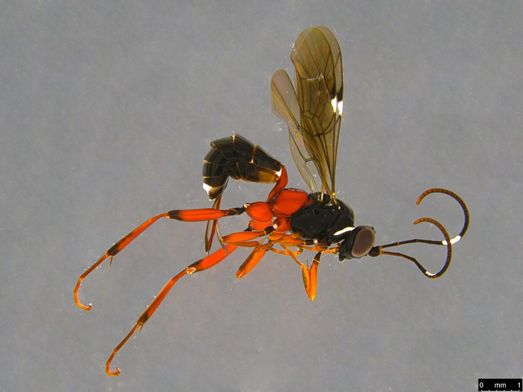 10a - Anacis sp.