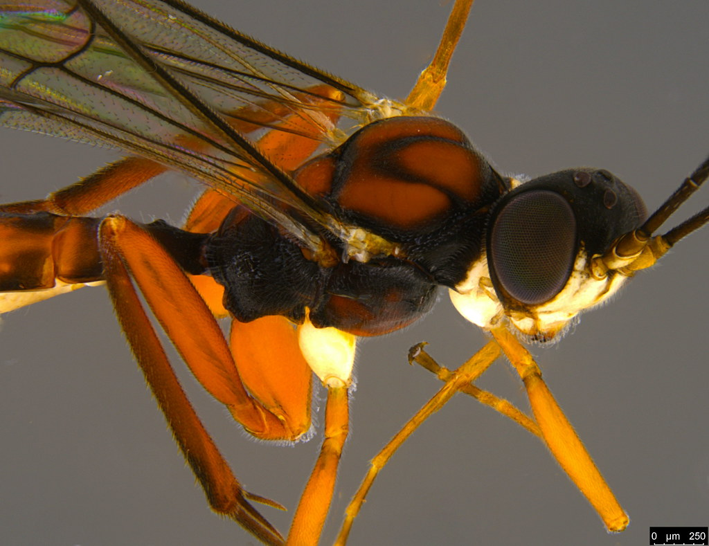 12b - Ichneumonidae sp.