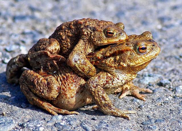 Erdkröten-Paar (Bufo bufo)